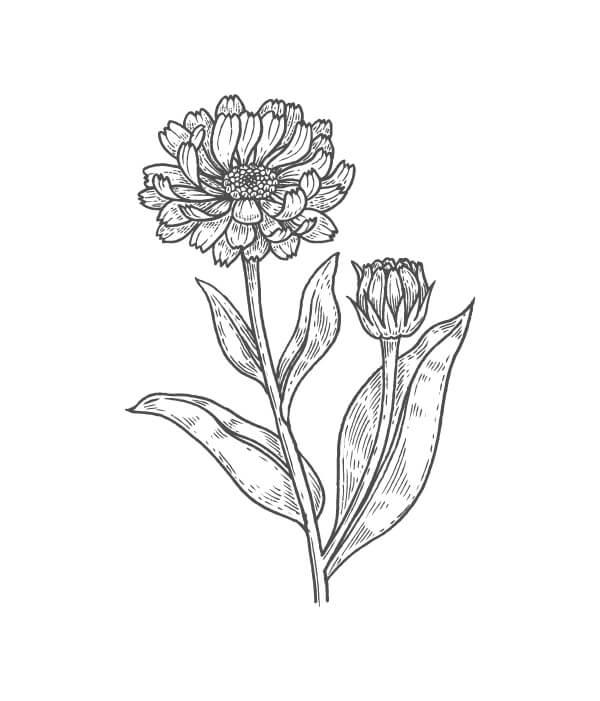 calendula botanical drawing