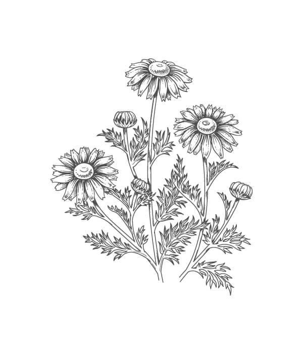 roman chamomile botanical drawing