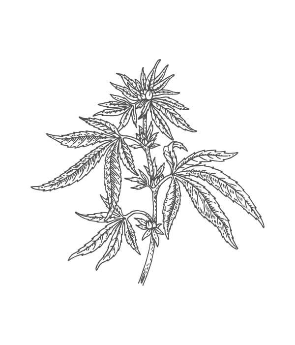 hemp botanical drawing