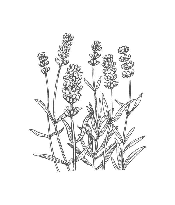 lavender botanical drawing