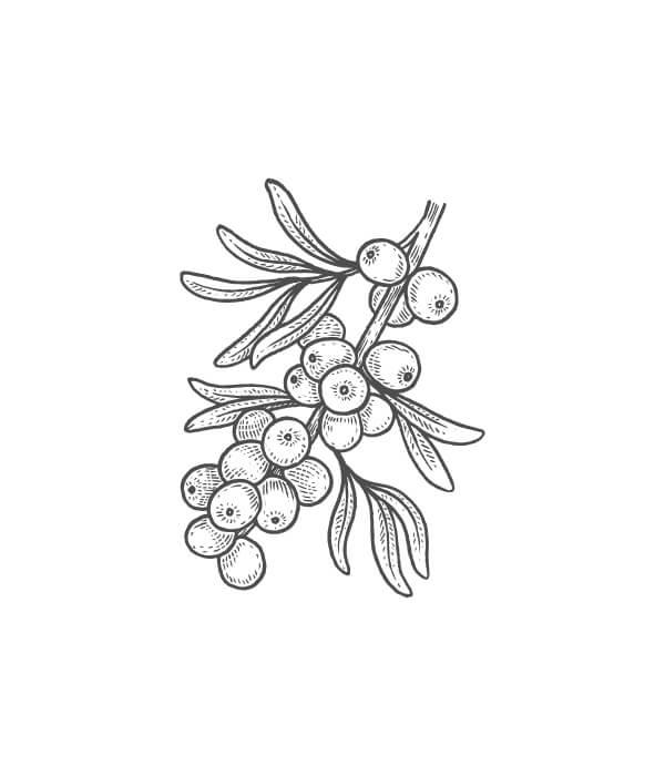 sea buckthorn botanical drawing